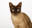 宠物猫0063,宠物猫,动物,