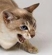 宠物猫0064,宠物猫,动物,