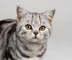 宠物猫0066,宠物猫,动物,